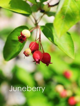 ジューンベリー収穫.jpg