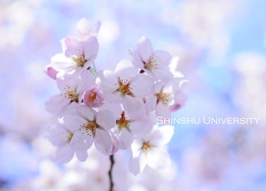 大学で桜.jpg