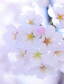 大学で桜2.jpg