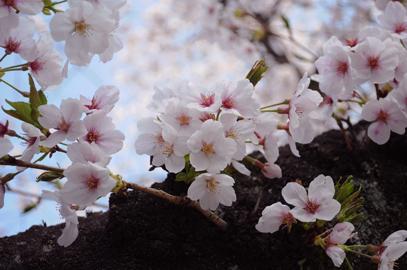 熊本城2018桜.jpg