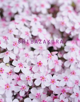 芝桜4-26-白.jpg
