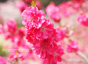花桃①.jpg