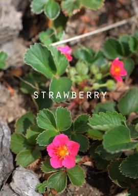 赤い花いちご.jpg