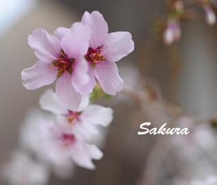 うちの桜2016-3-24.jpg