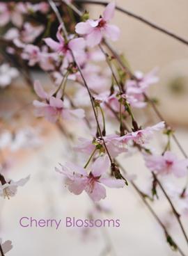 しだれ桜4-10.jpg