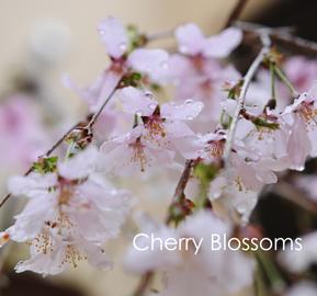 しだれ桜4-8.jpg