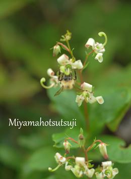 栂池高山植物7-21①.jpg