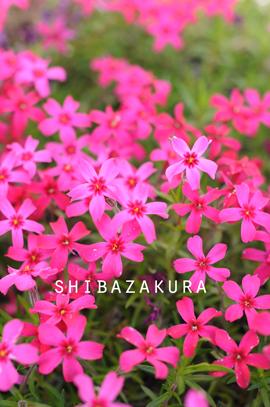 芝桜4-26.jpg